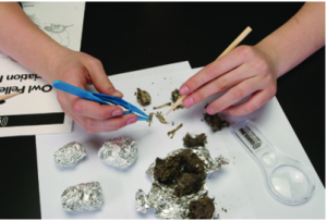 Dissecting owl pellets with wooden skewer and tweezers