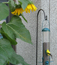 Finch at feeder near sunflower