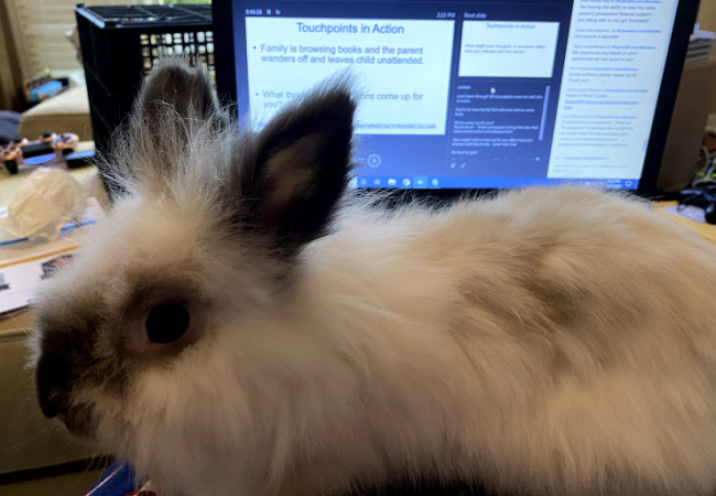 Pippin (bunny) sits on a laptop watching a presentation.